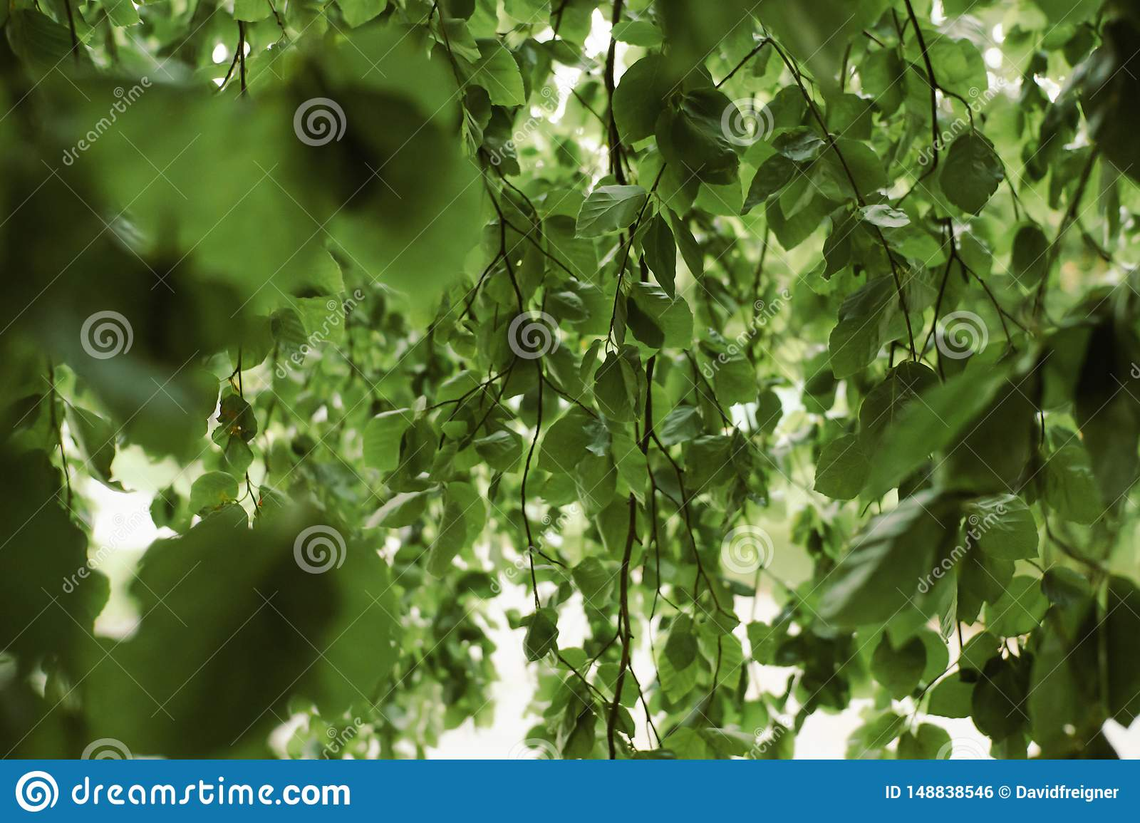 Willow tree leaves background. Environment, gardening and wildlife concept