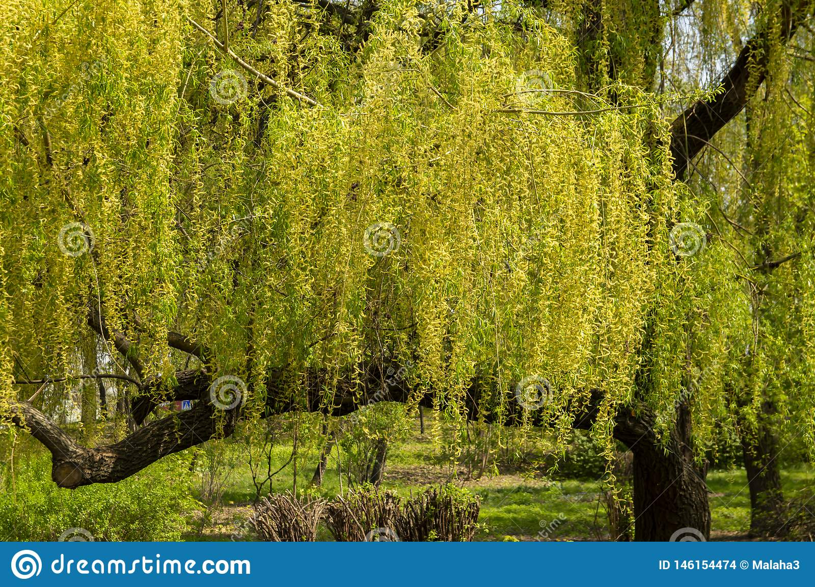 Willow tree with young foliage