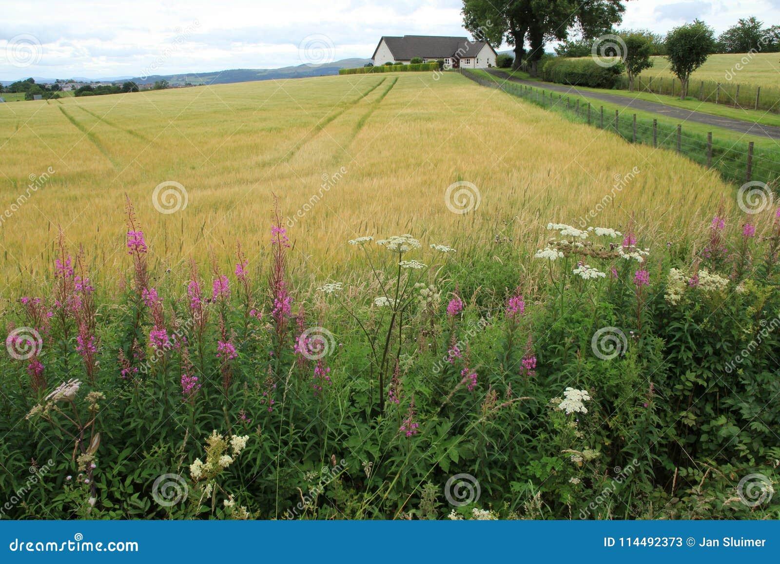 Willowherb di oleandro di fioritura alla campagna a Stirling di estate