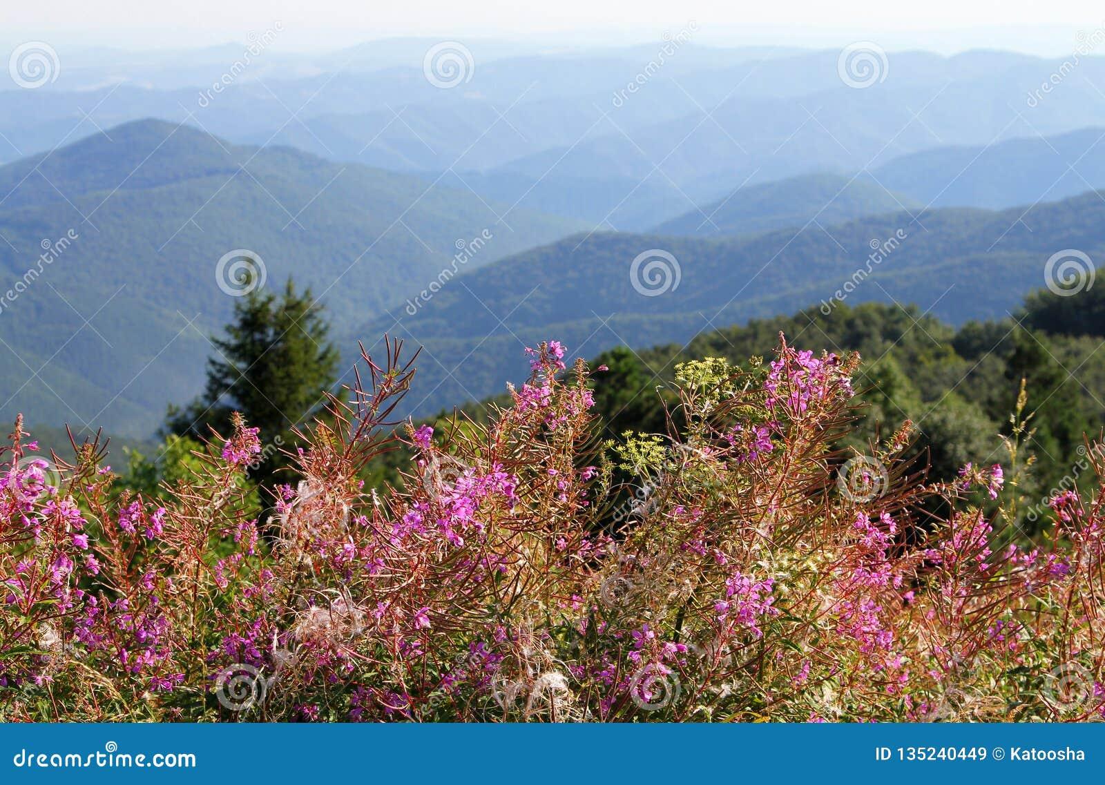 Willowherb Rosebay или fireweed, angustifolium Chamaenerion, цветки на предпосылке балканских гор, Болгарии