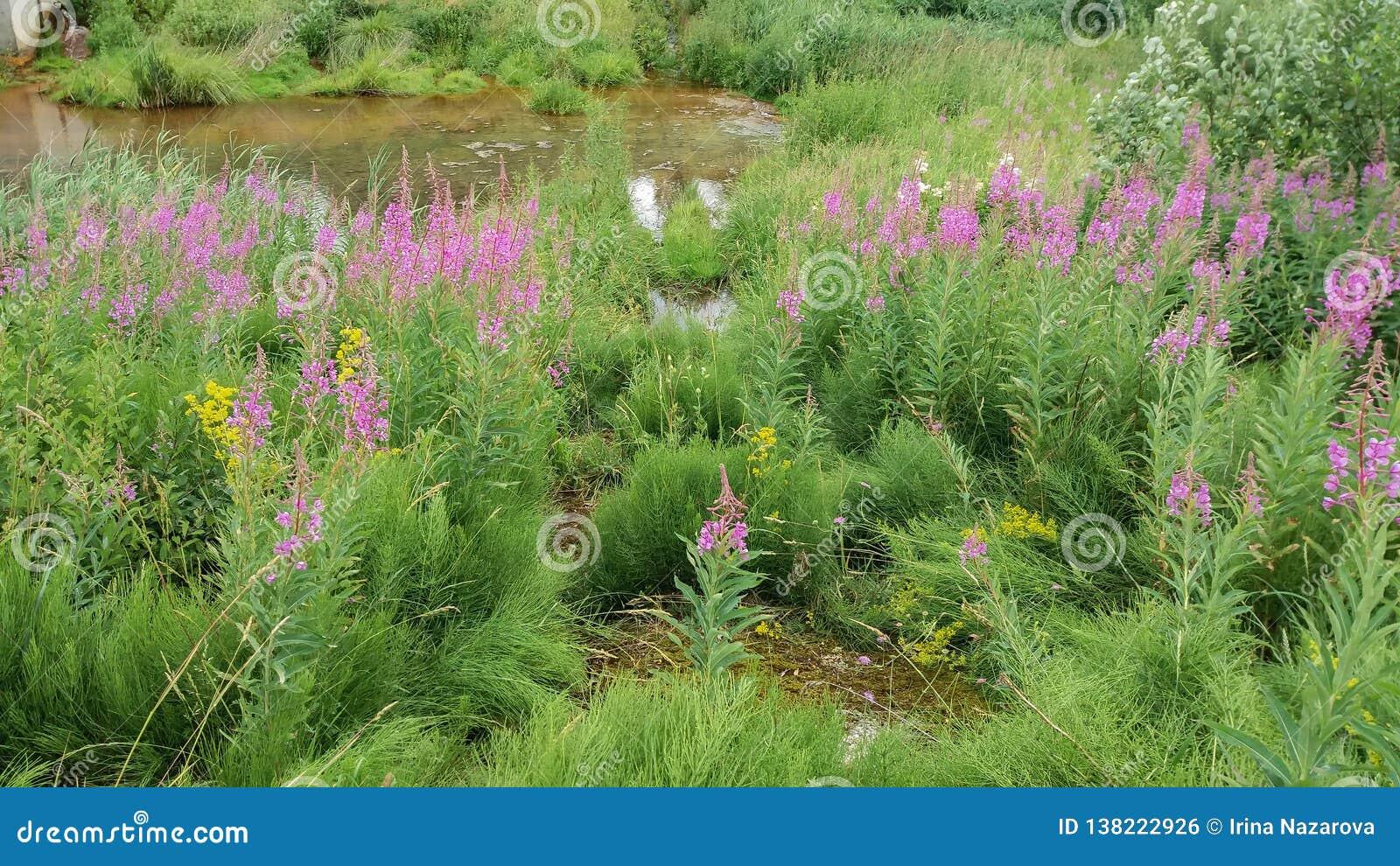 Willowherb Rosebay растет на береге пруда Сырье для продукции верб-чая или чая ivan в диком