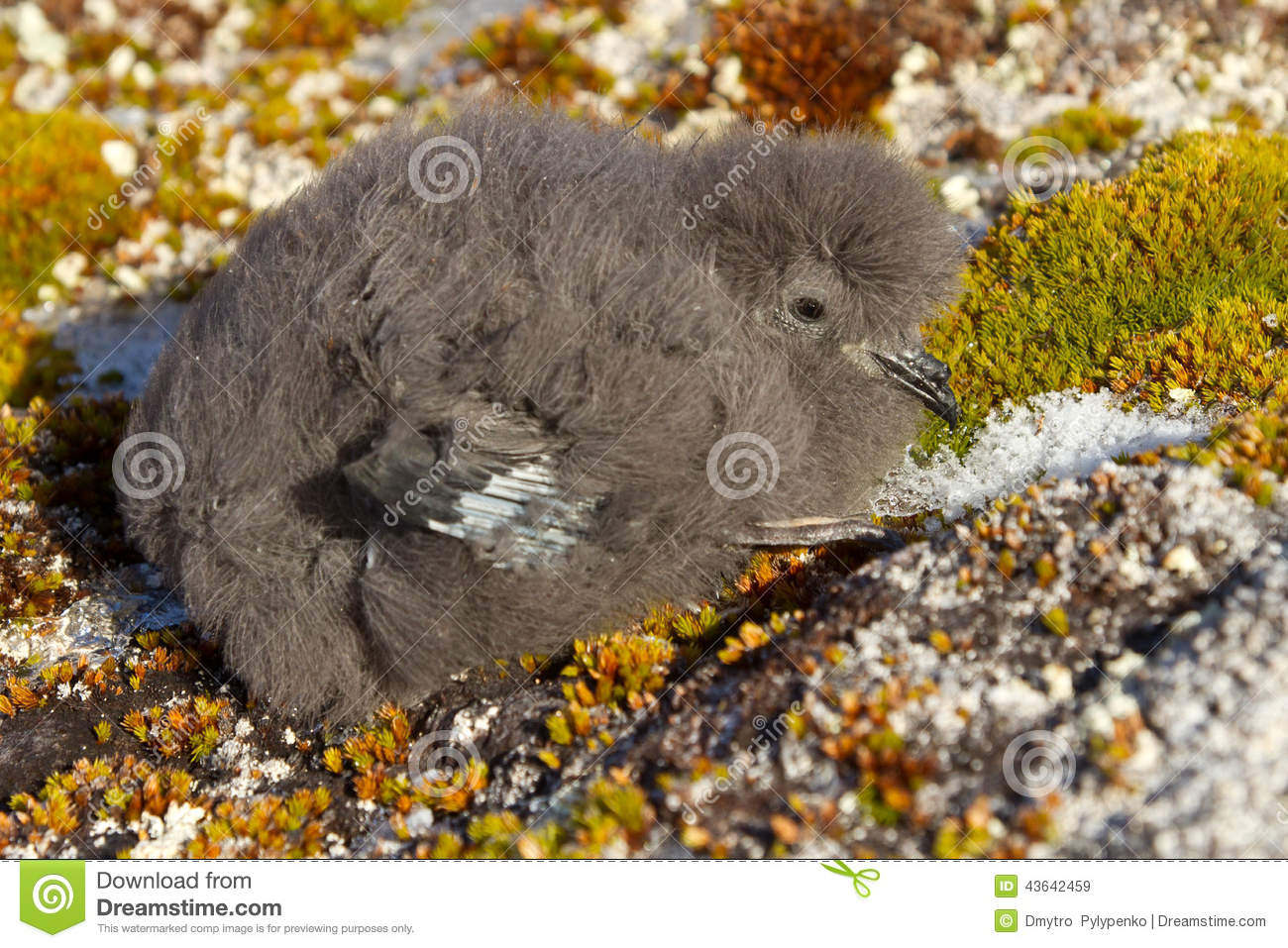 Wilson s storm petrels chick that sits on the moss Antarctic isl
