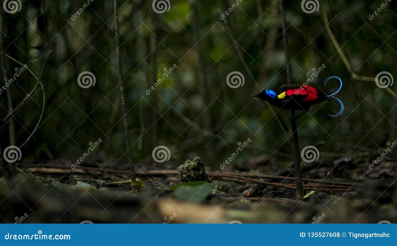 Wilsons Paradiesvogel konkurrierend, um eine Frau durch das Tanzen in den Trübsinn des Waldbodens anzuziehen