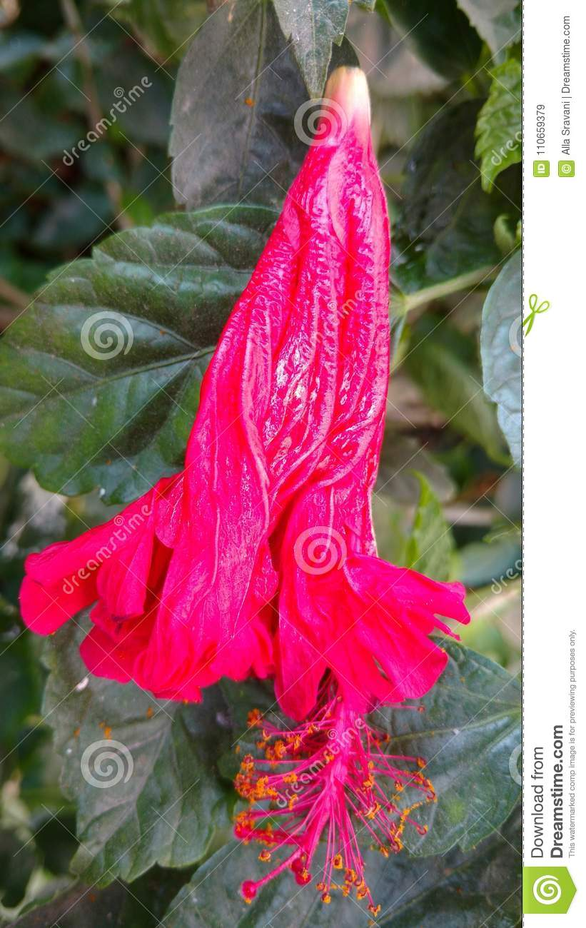 Wilted Hibiscus Flower Stock Image Image Of Botany 110659379
