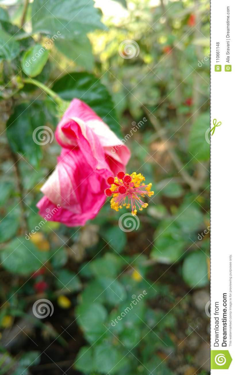 Wilted Hibiscus Flower Stock Photo Image Of Health 110661148