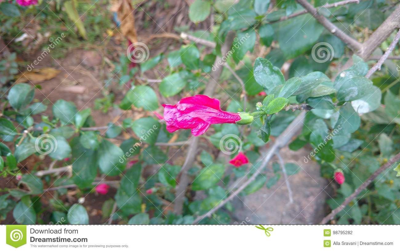 Wilted Hibiscus Flower Stock Photo Image Of Calyx Leaves 98795282