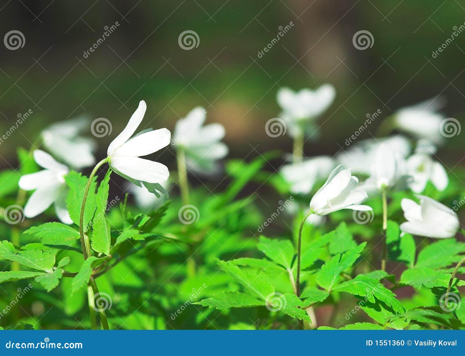 Wind-bloem