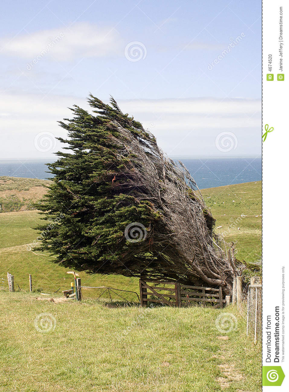 Displaying (14) Gallery Images For Wind Blowing Pine Trees...