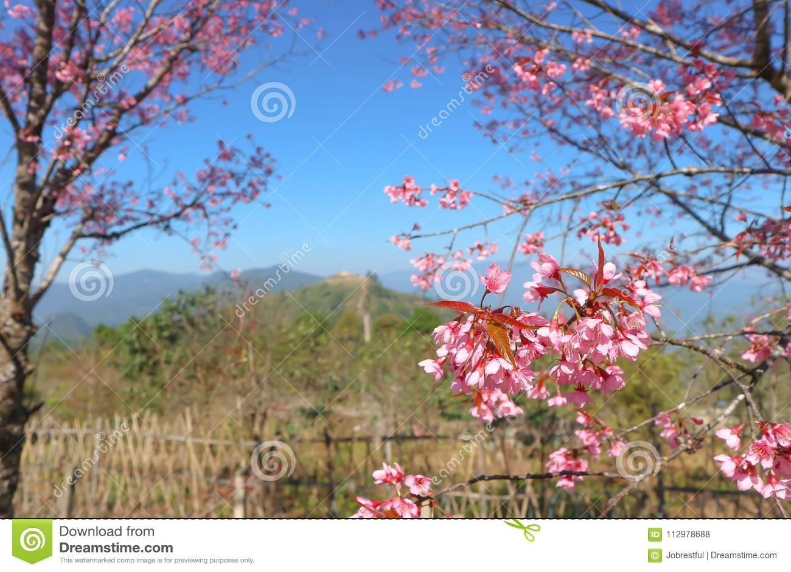 Wind himalayan cherry or prunus cerasoides or sakura