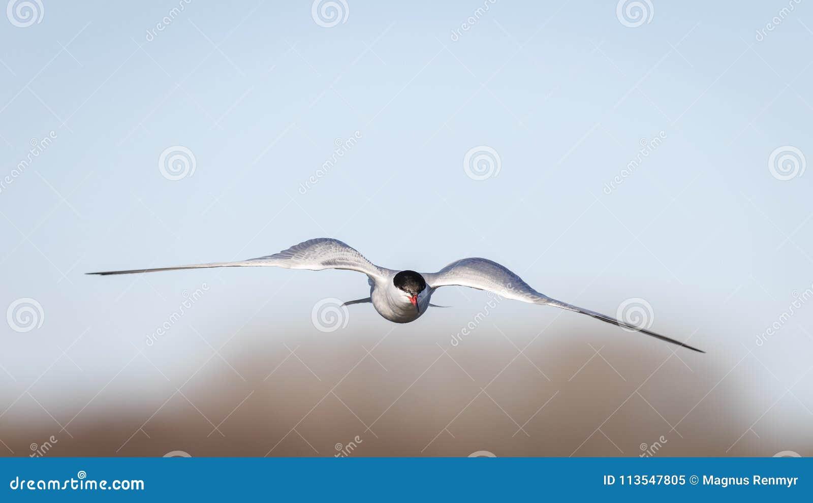 Wind onder mijn vleugels Vliegende gemeenschappelijke stern