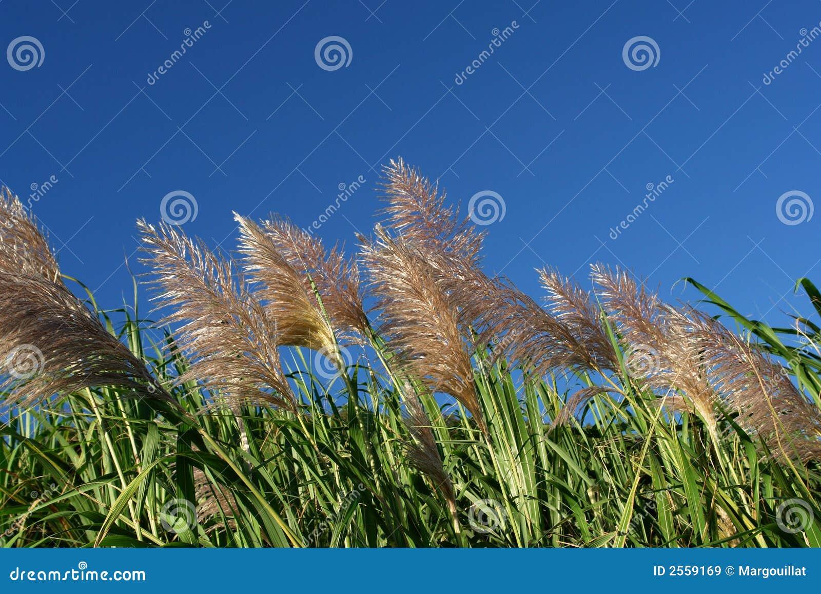 Wind op suikerrietgebieden