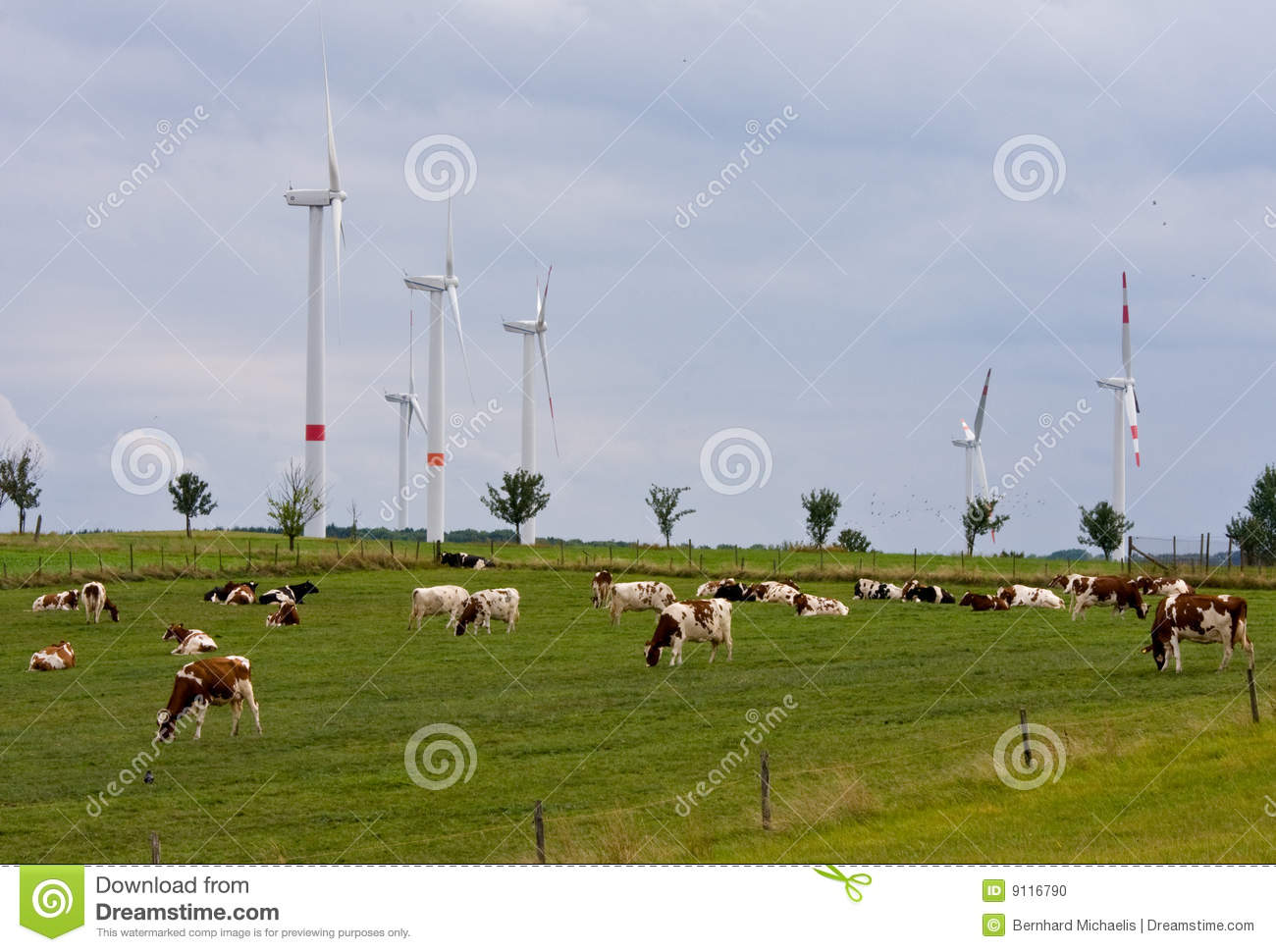 Wind power and organic grass fed cows