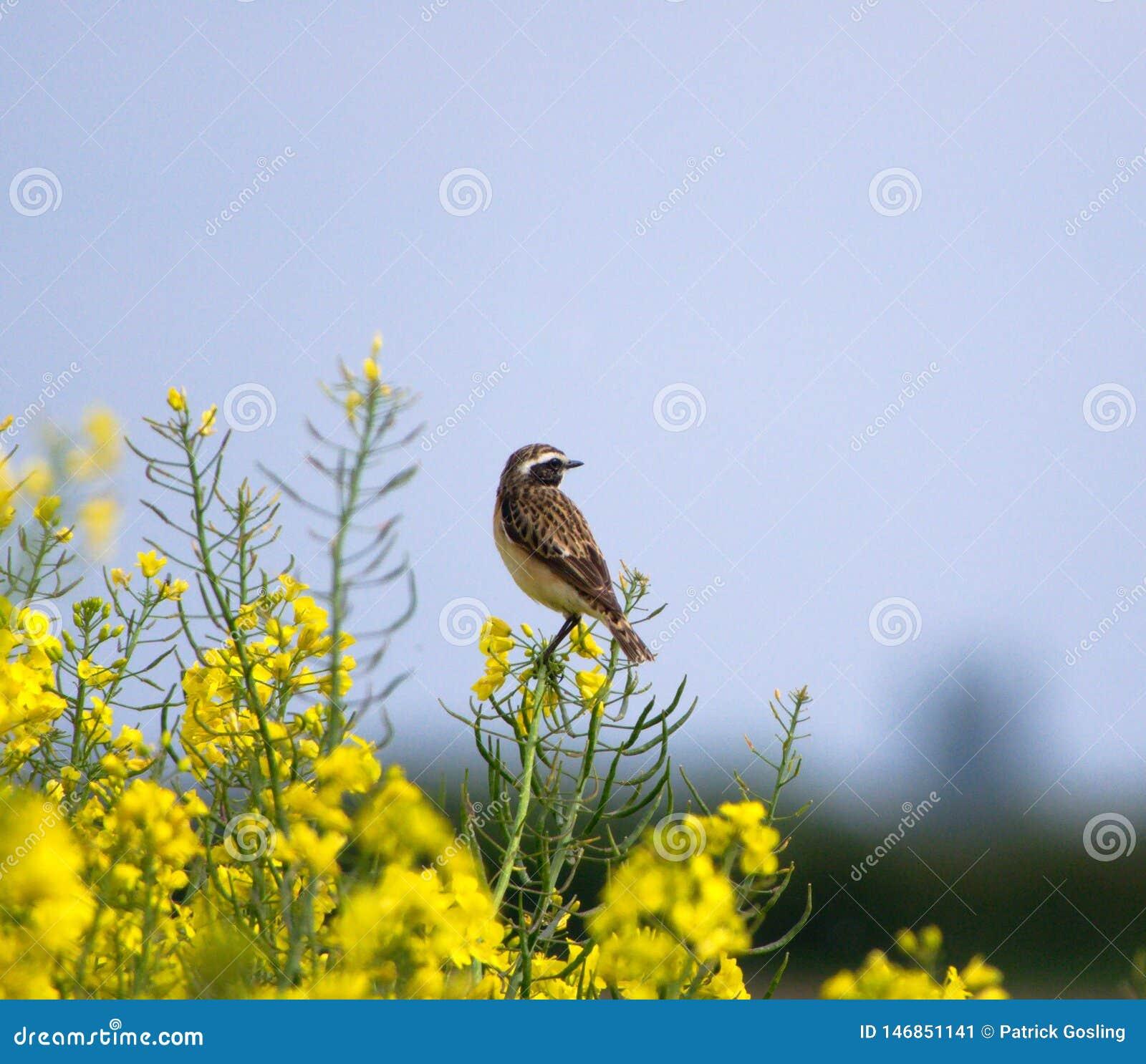 Windchat em flores da violação da semente oleaginosa