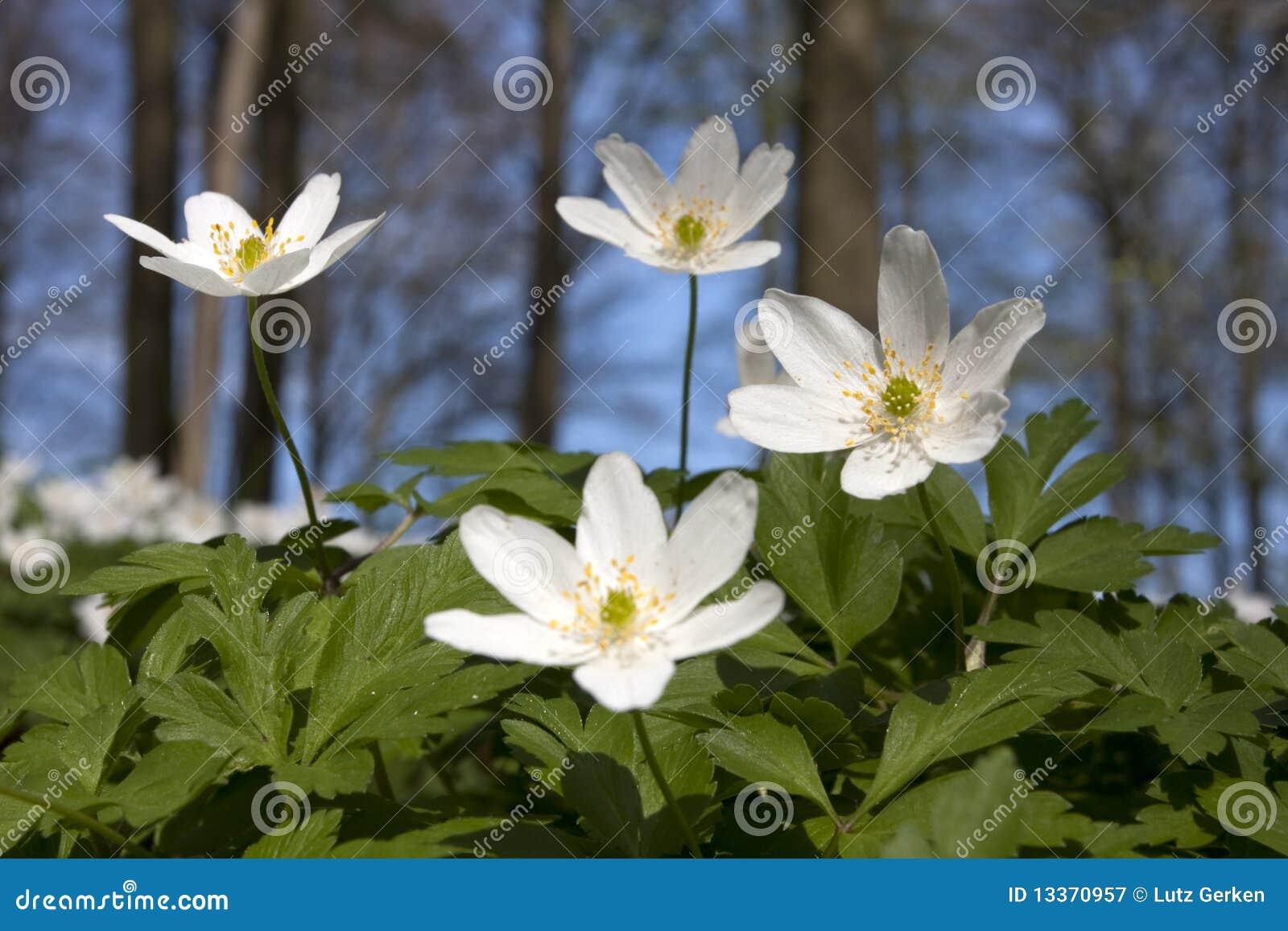 Windflower (nemorosa do Anemone)
