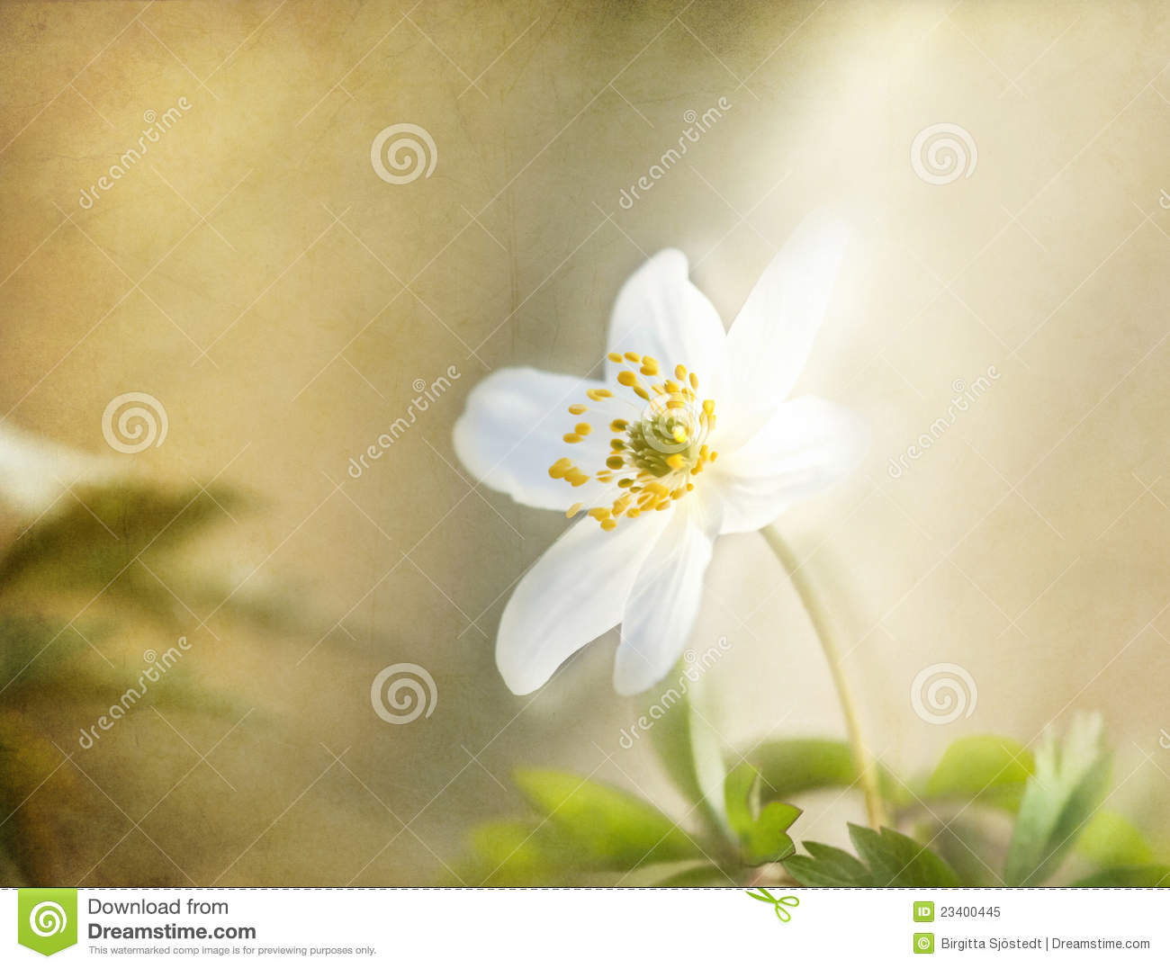 Windflower , romantic background, textured.