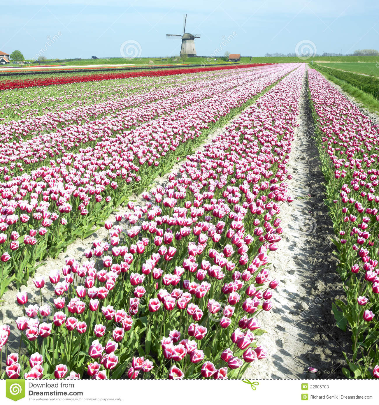 Windmill with tulip field stock image. Image of flower ...