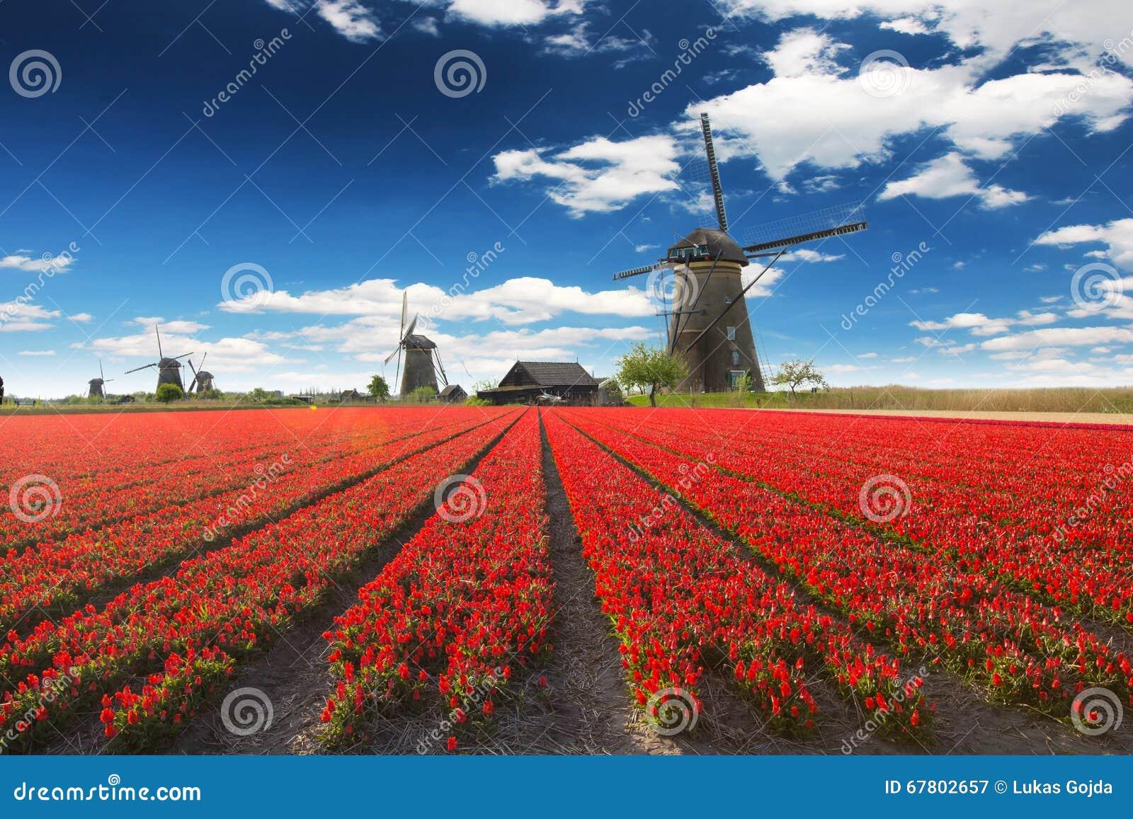 Windmolen met tulpengebied in Holland