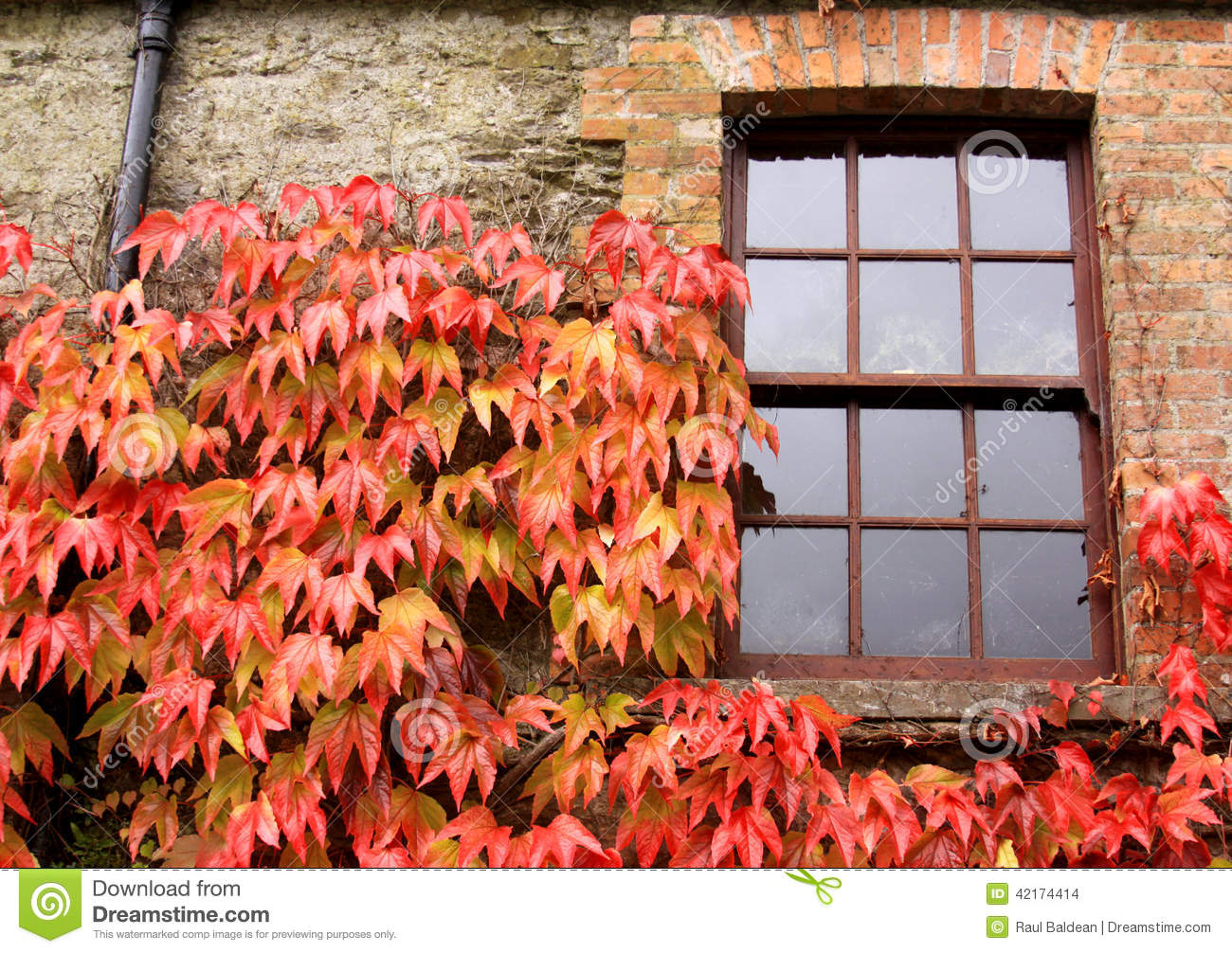 Window with ivy in autumn, in Ireland