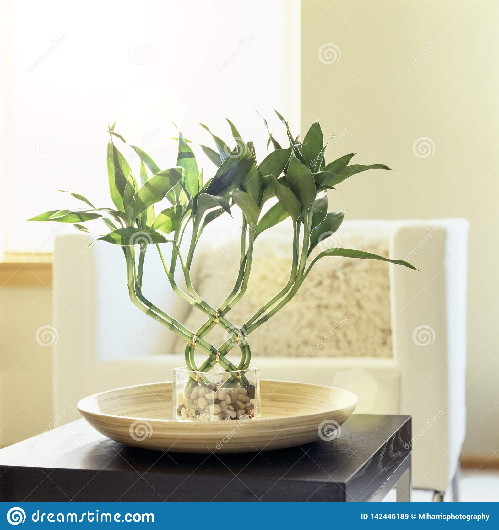 Lucky Bamboo Houseplant In Comfortable, Modern Living Room ...