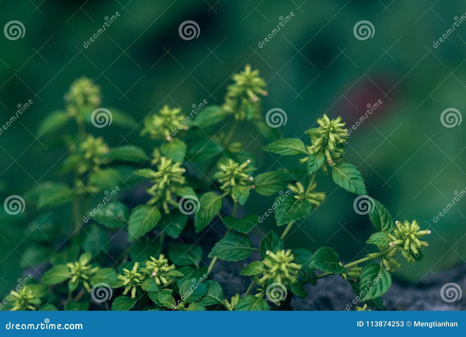 Windrad GemüseCalamint