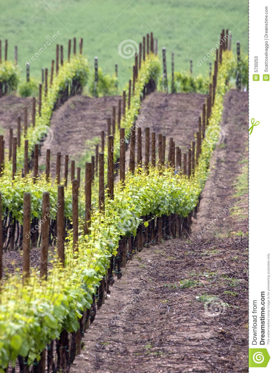 Wine sea have green waves. Colors of spring vineyard near Casteggio, Oltrepo pavese, Pavia, Italy.