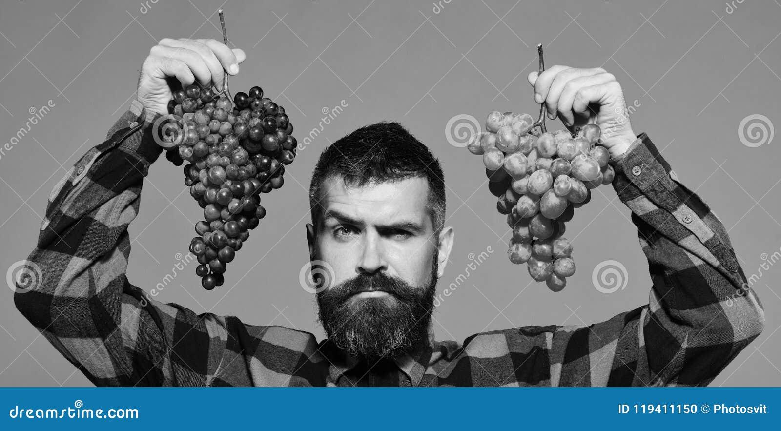 Winegrower met verleidelijk gezicht stelt clusters van groene en purpere druiven voor De mens met baard houdt bossen van druiven