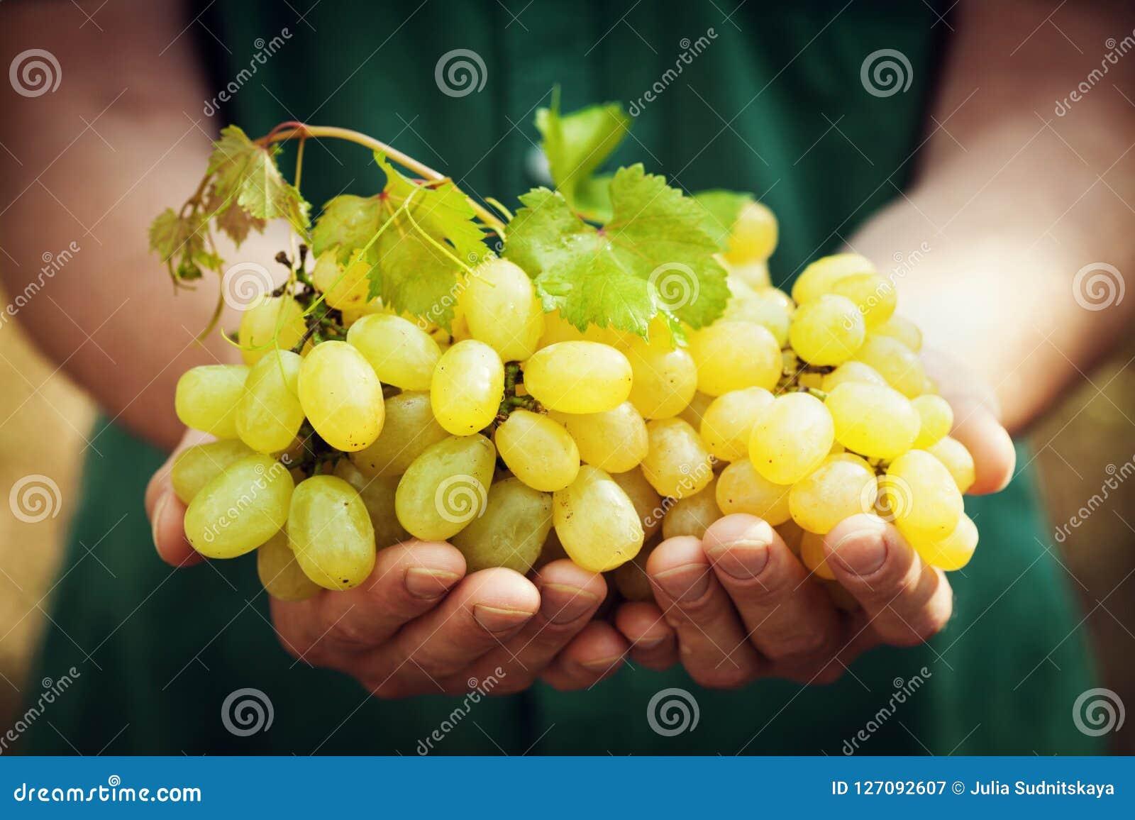 Winemakerholding in handen de oogst van rijpe druif Organische vruchten en de landbouwthema