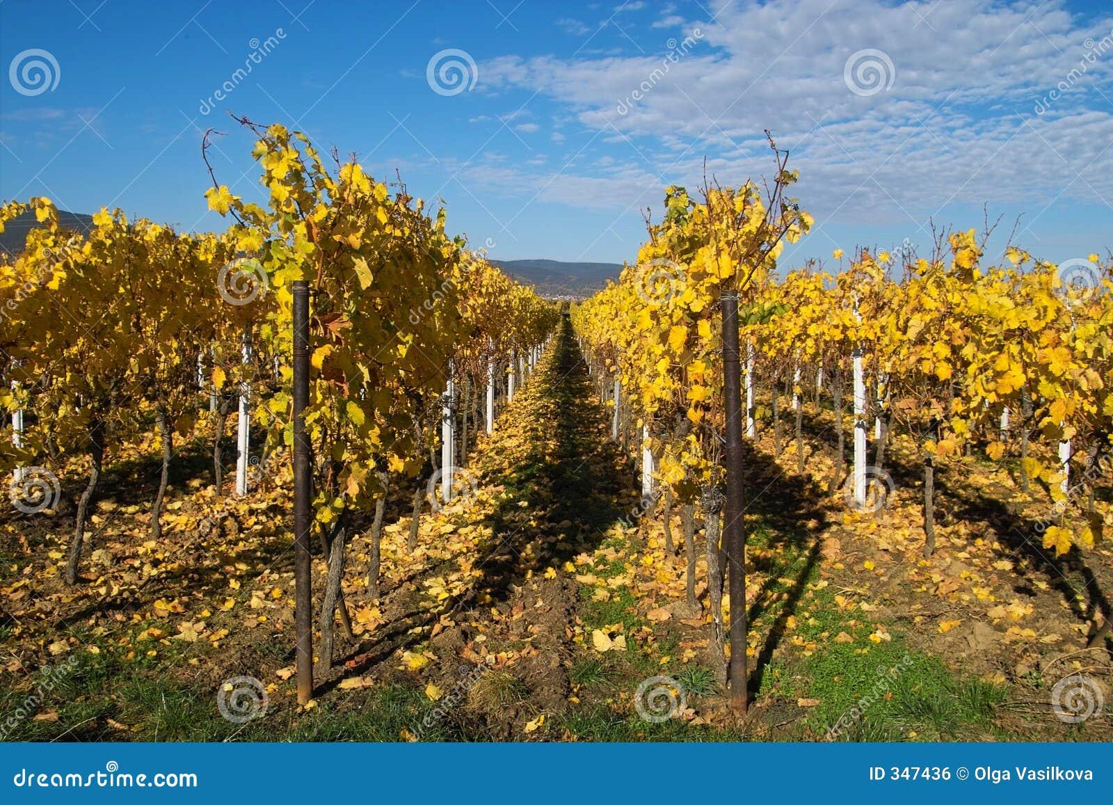 Wineyards dorati