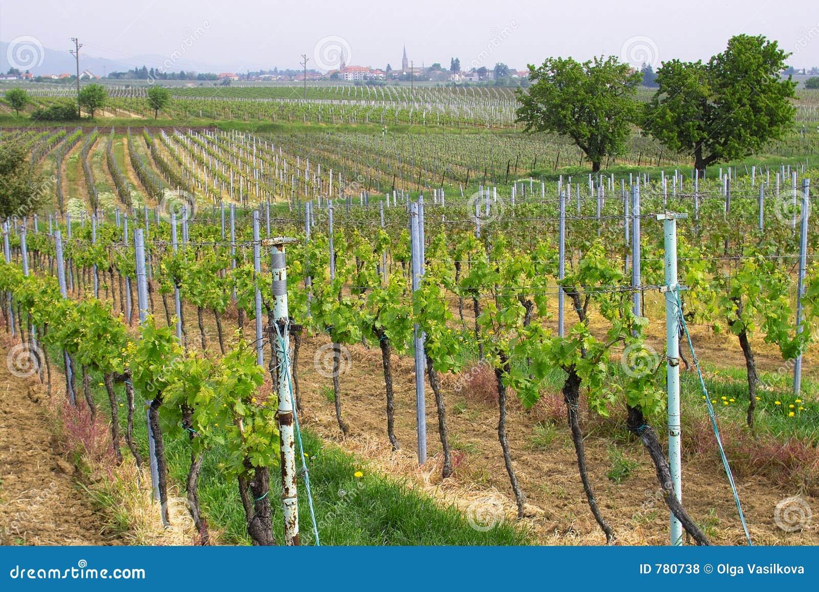 Wineyards in primavera