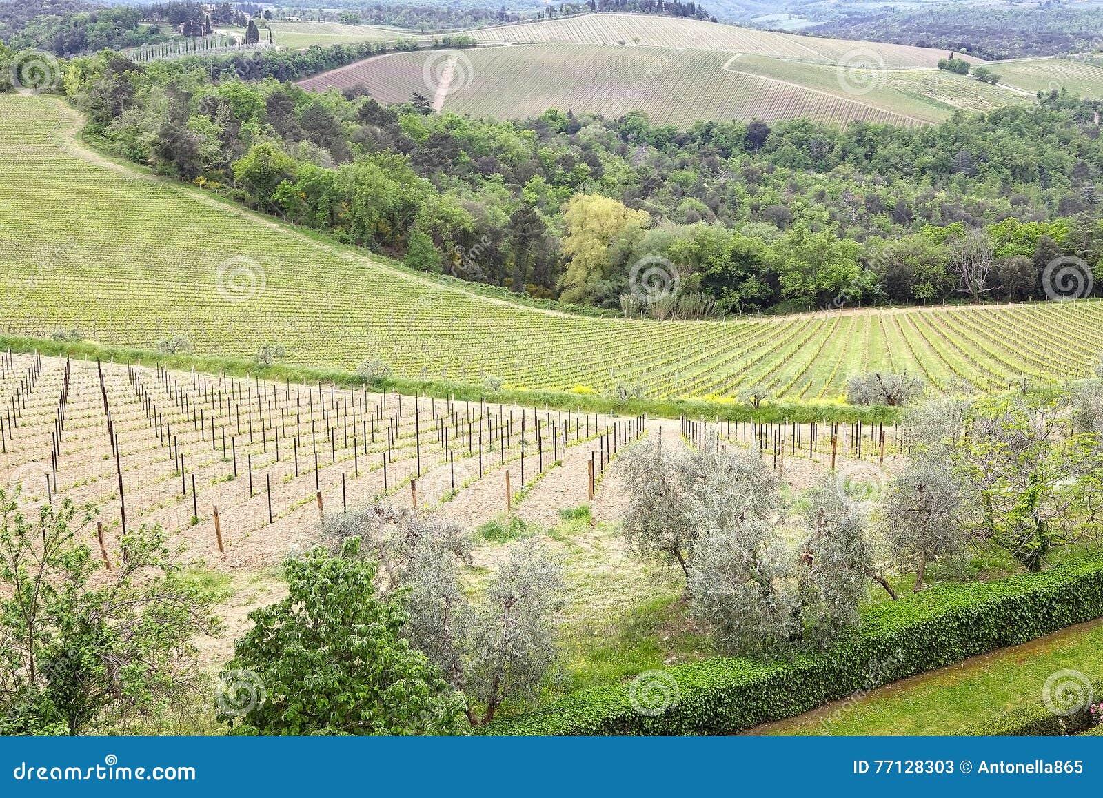 Wineyards toscans
