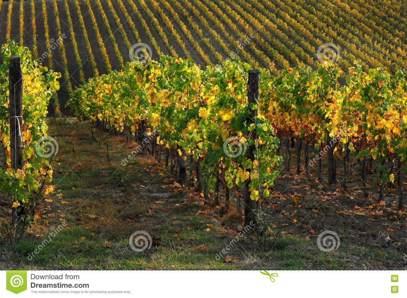 Wineyards in Tuscany, Chianti, Italy