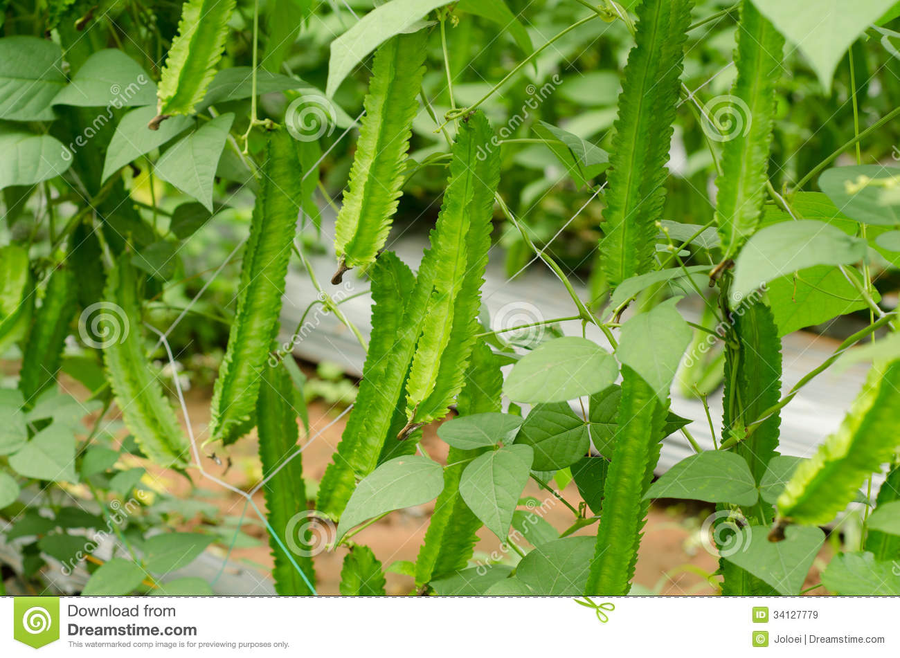 Winged Bean Plant Royalty Free Stock Images - Image: 34127779