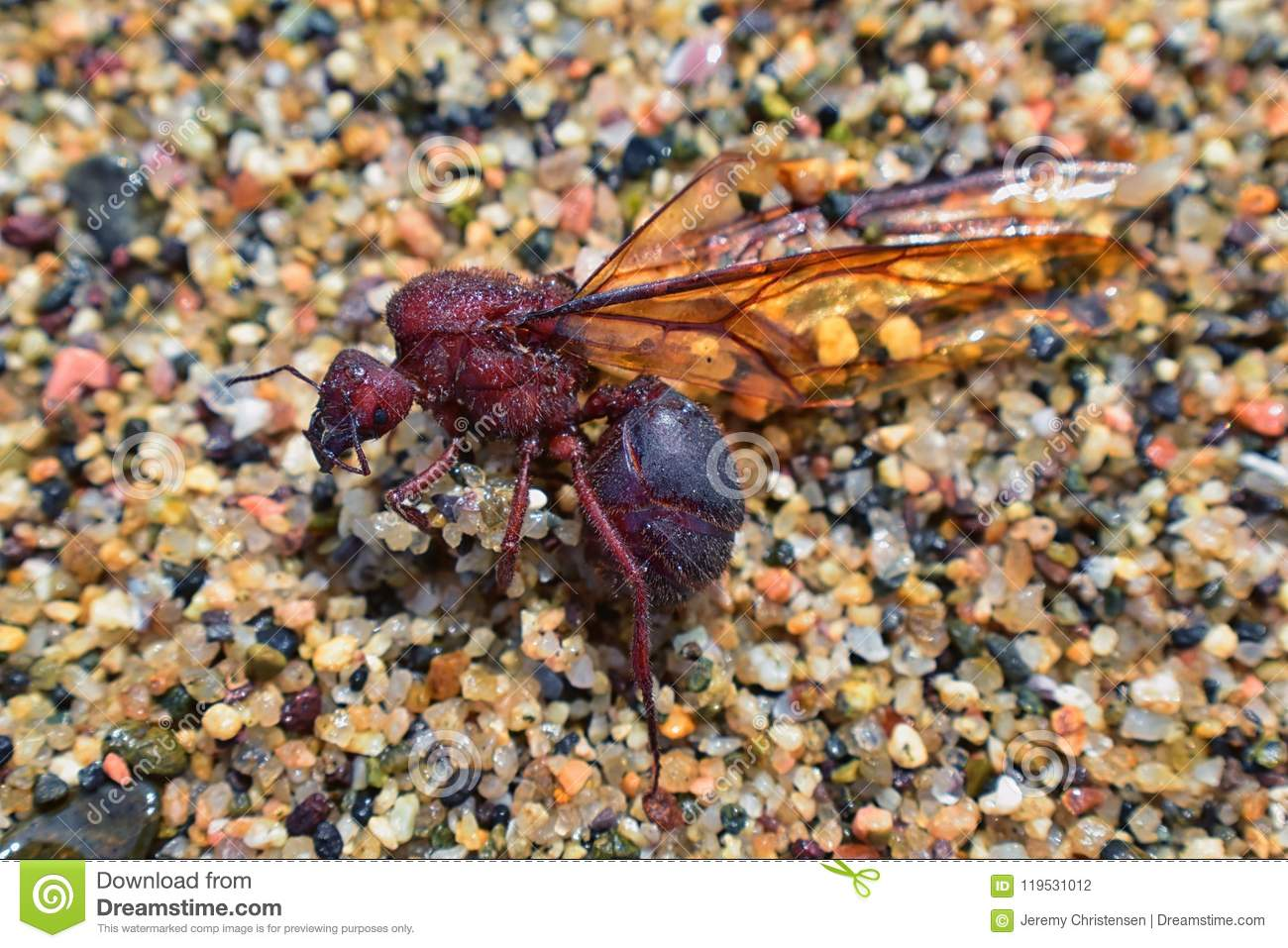 Winged Male Drone Leafcutter ants, macro close up view, dying on beach after mating flight with queen in Puerto Vallarta Mexico. S