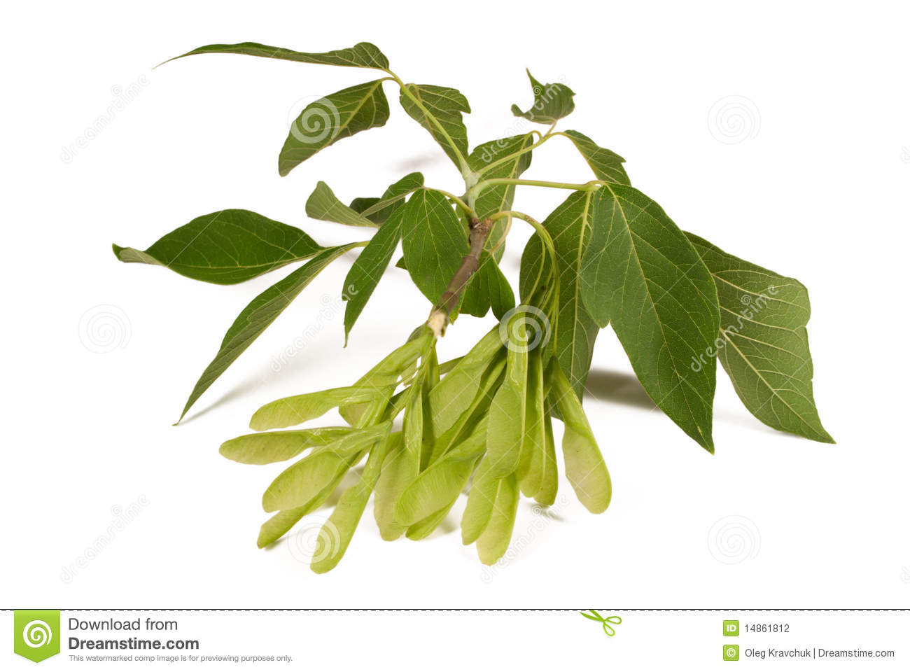 Winged seed pods and leaves from a maple tree