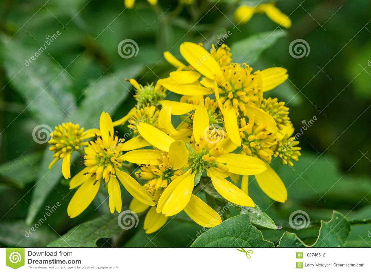 Wingstem verbesina alternifolia stock photo image of bloom download comp izmirmasajfo