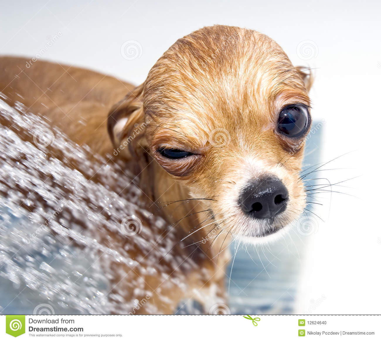 Winking Funny Chihuahua Taking A Shower Stock Photo Image 12624640