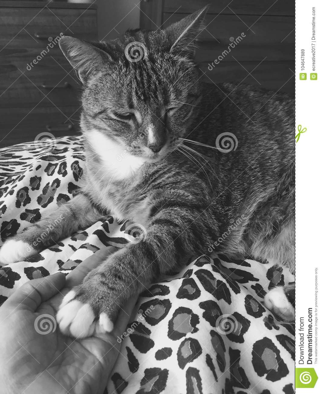 Winking Male Cat Leopard Markings Black And White Stock Image Image Of Male Stripes 104647889