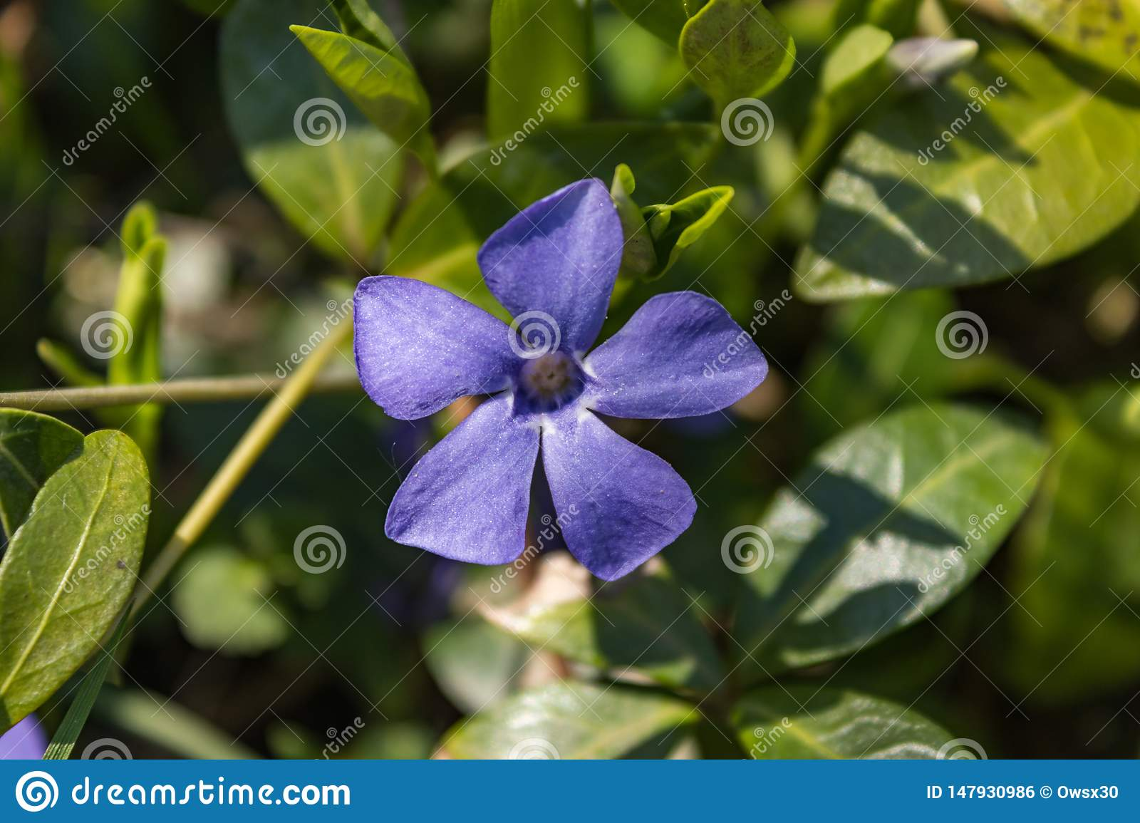 Winky flower on the background of green plant leaves and grass. Spring nature macro photography blooming wink flower