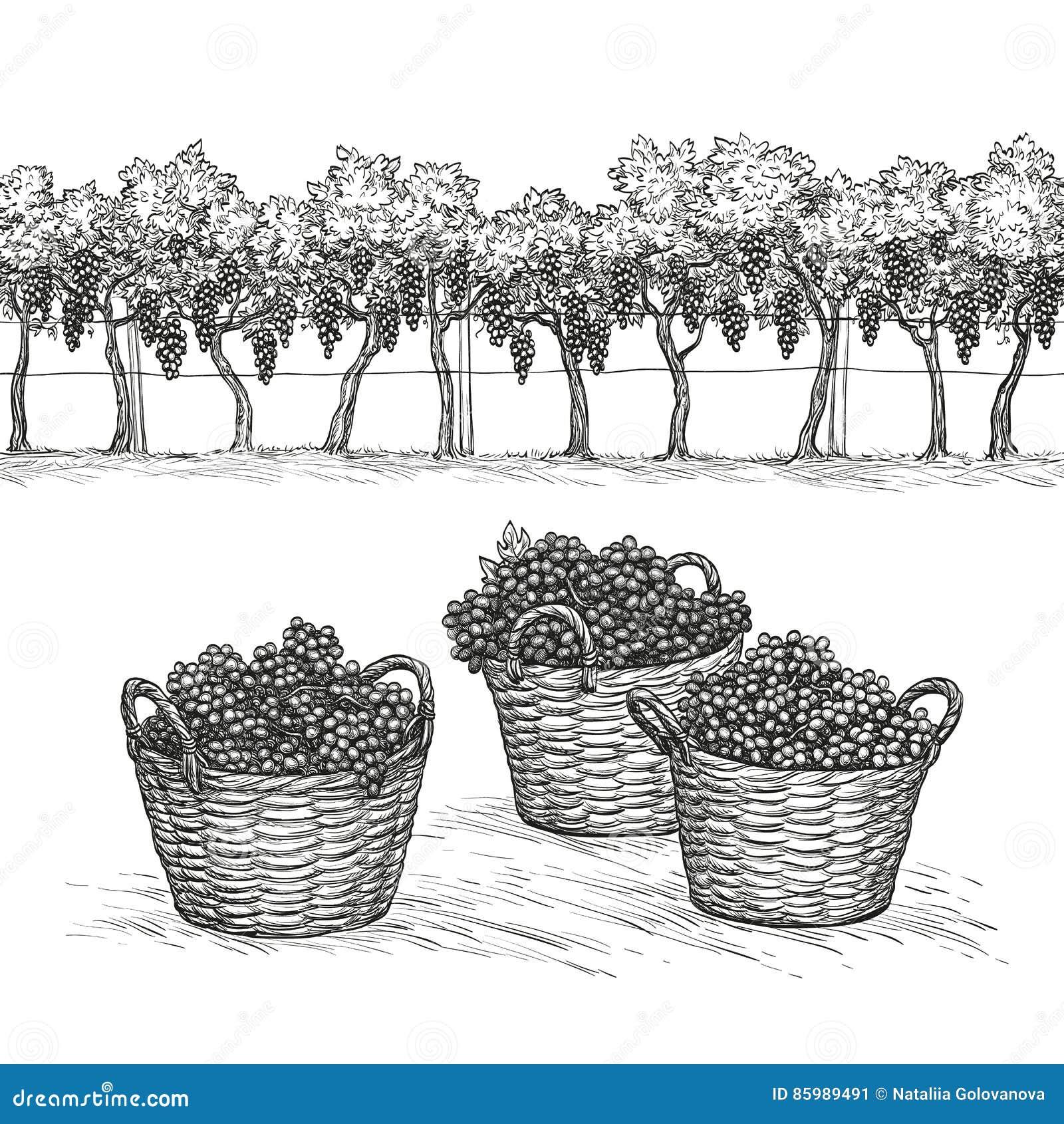 Winnica, gwałtów winogrona w koszu i gałąź i
