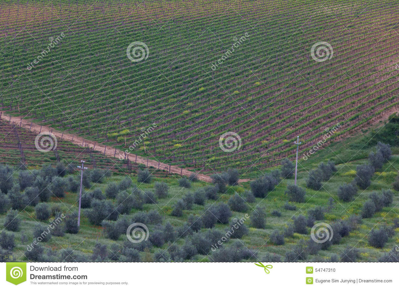 Winnica i oliwni gaje w Tuscany
