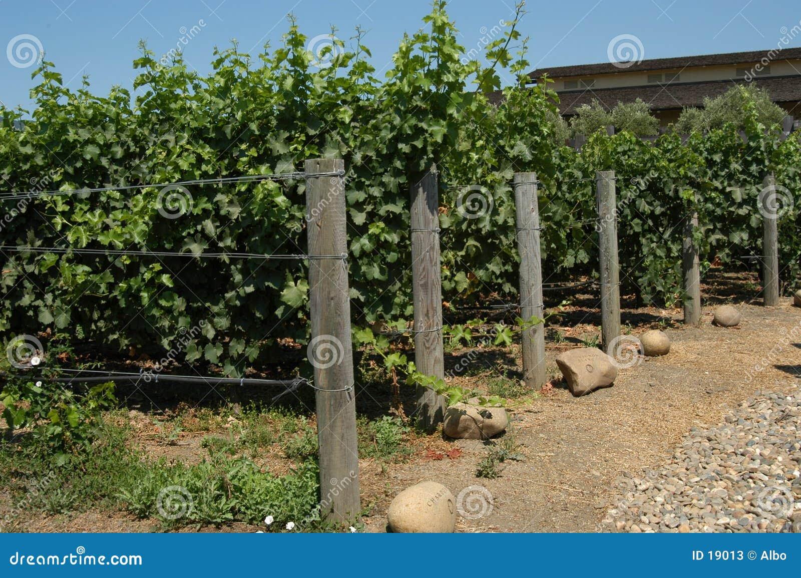 Winnica kalifornii