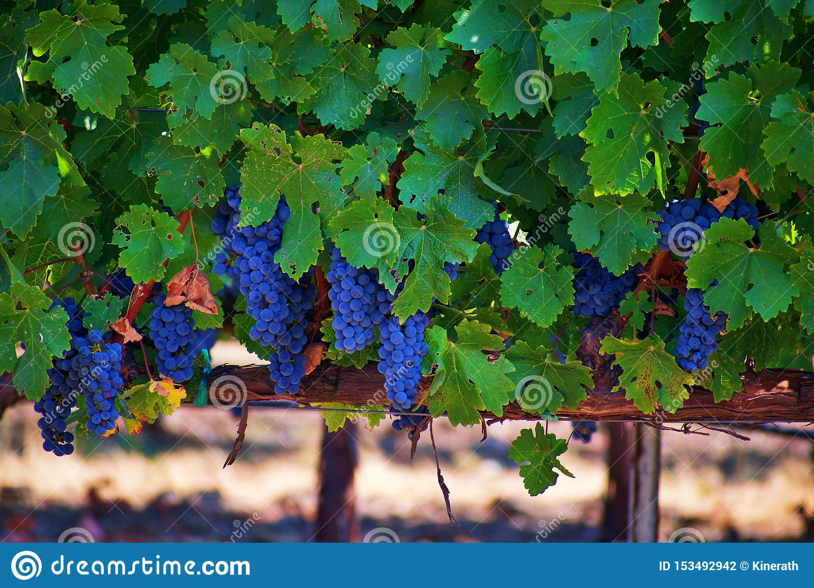 Winnica napa valley