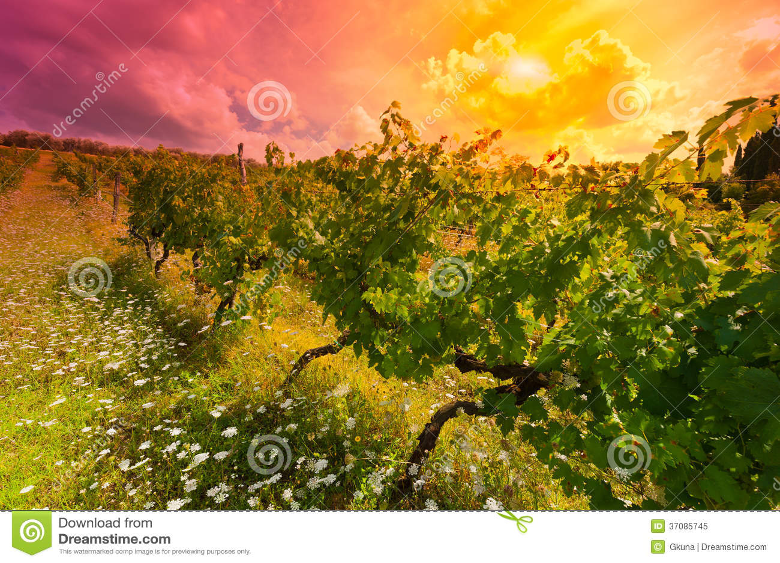 Download Winnica przy zmierzchem obraz stock. Obraz złożonej z góra - 37085745