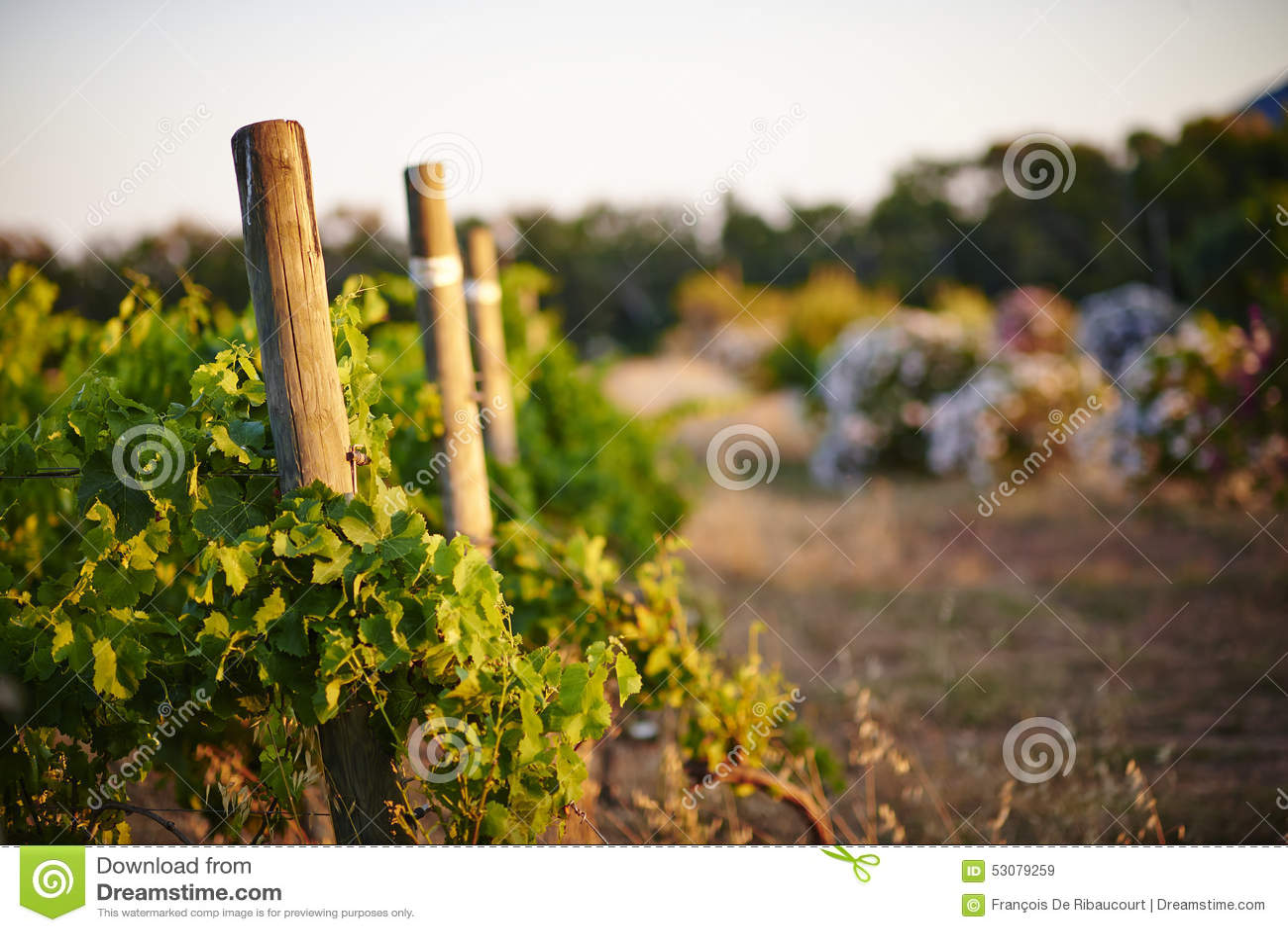 Winnica przy zmierzchem