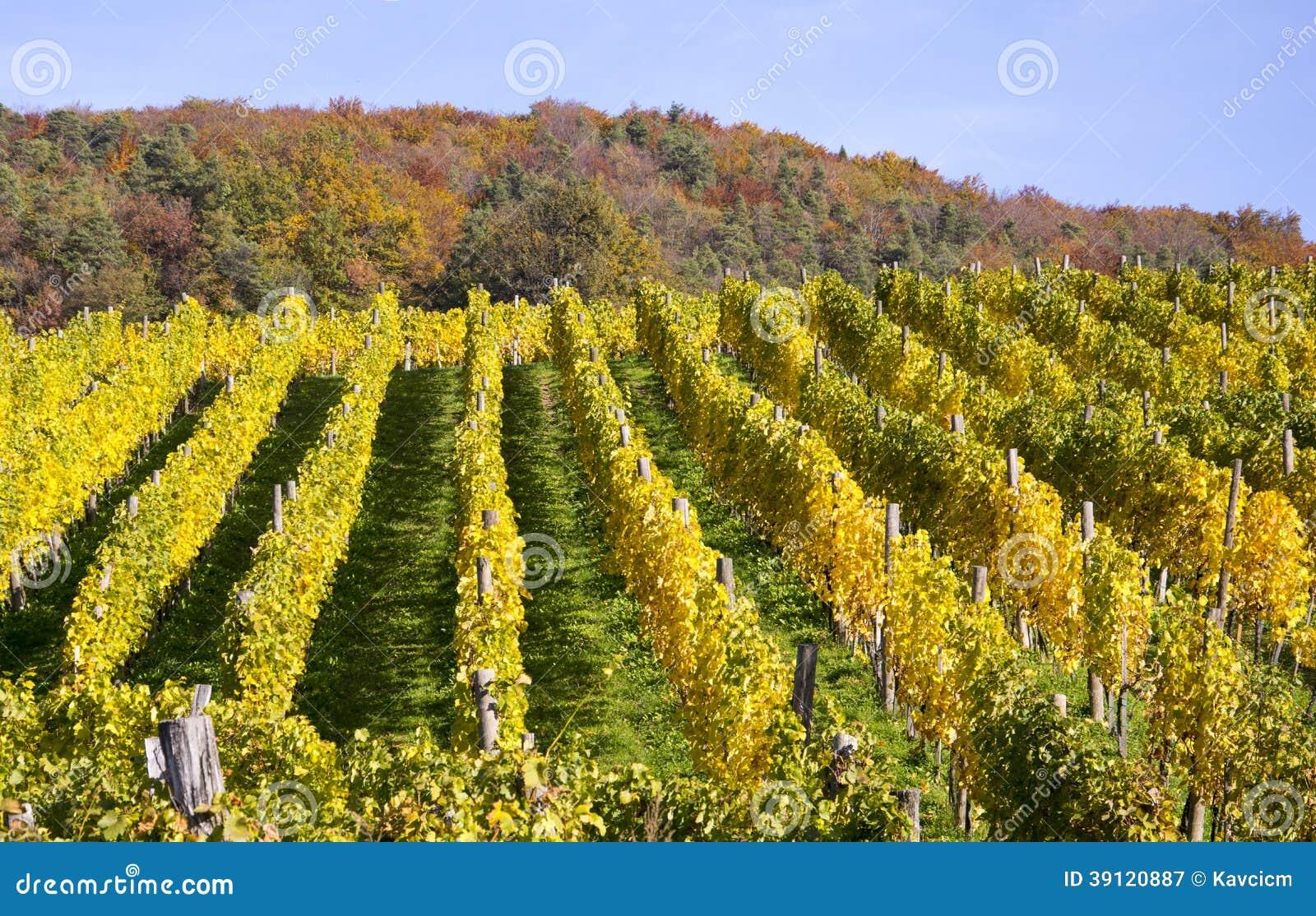 Winnica w autum