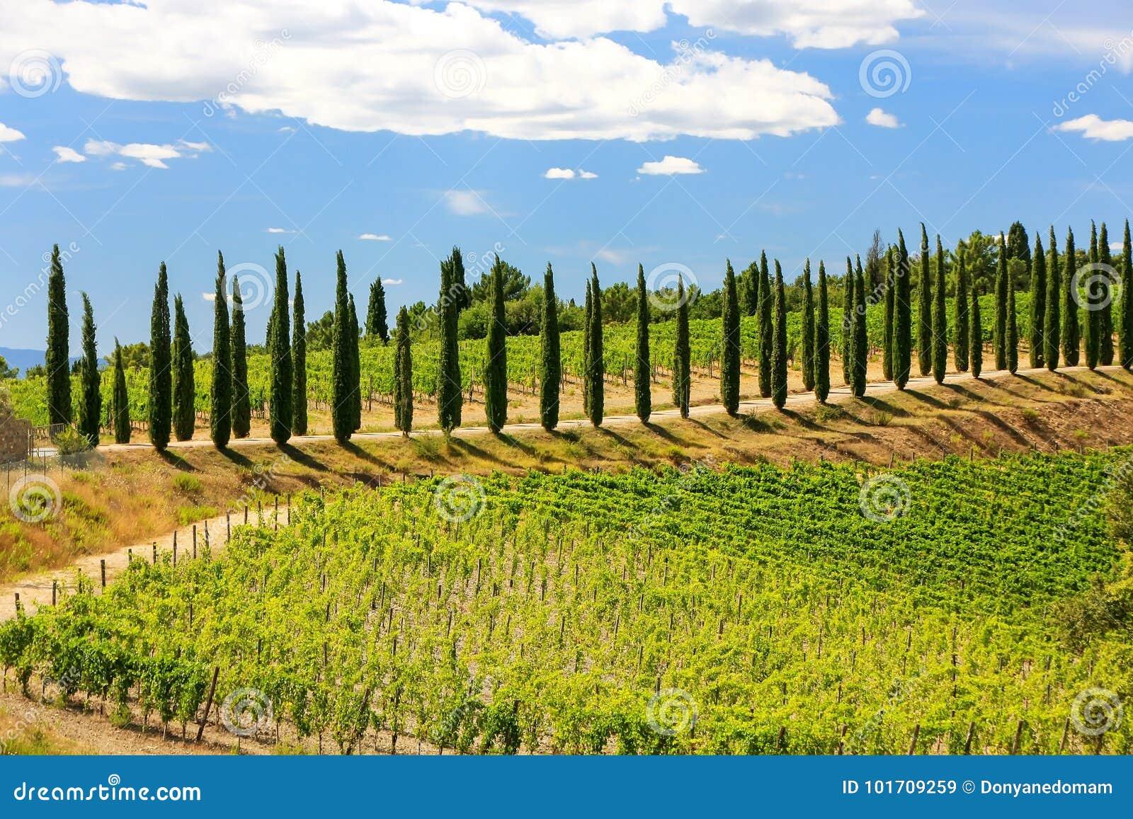 Winnica z rzędem cyprysowi drzewa w Val d ` Orcia, Tuscany, Ital