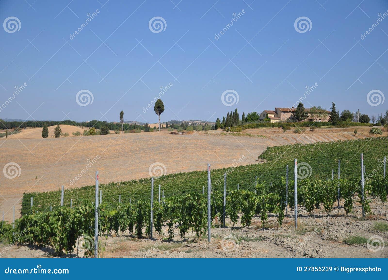 Winnicy przy certaldo Tuscany Italy
