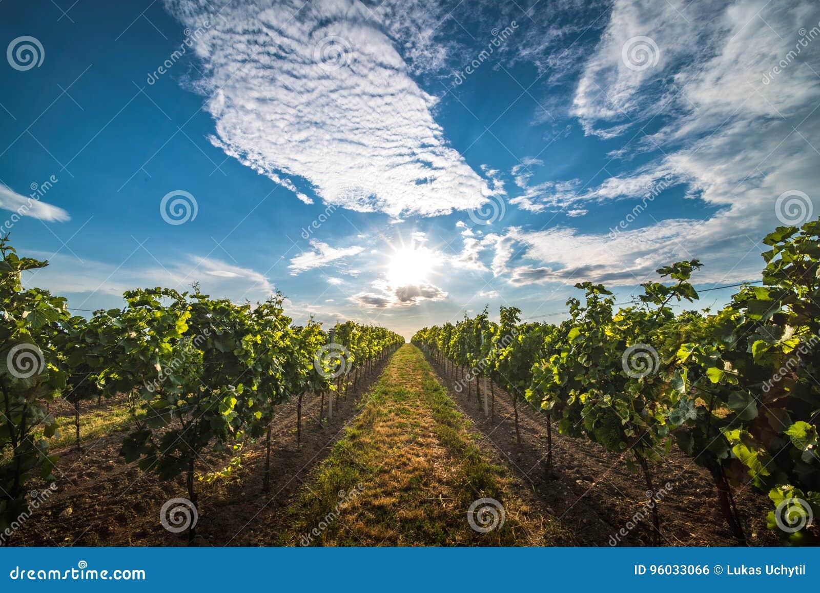 Winnicy przy zmierzchem w Austria z pięknym wieczór niebem