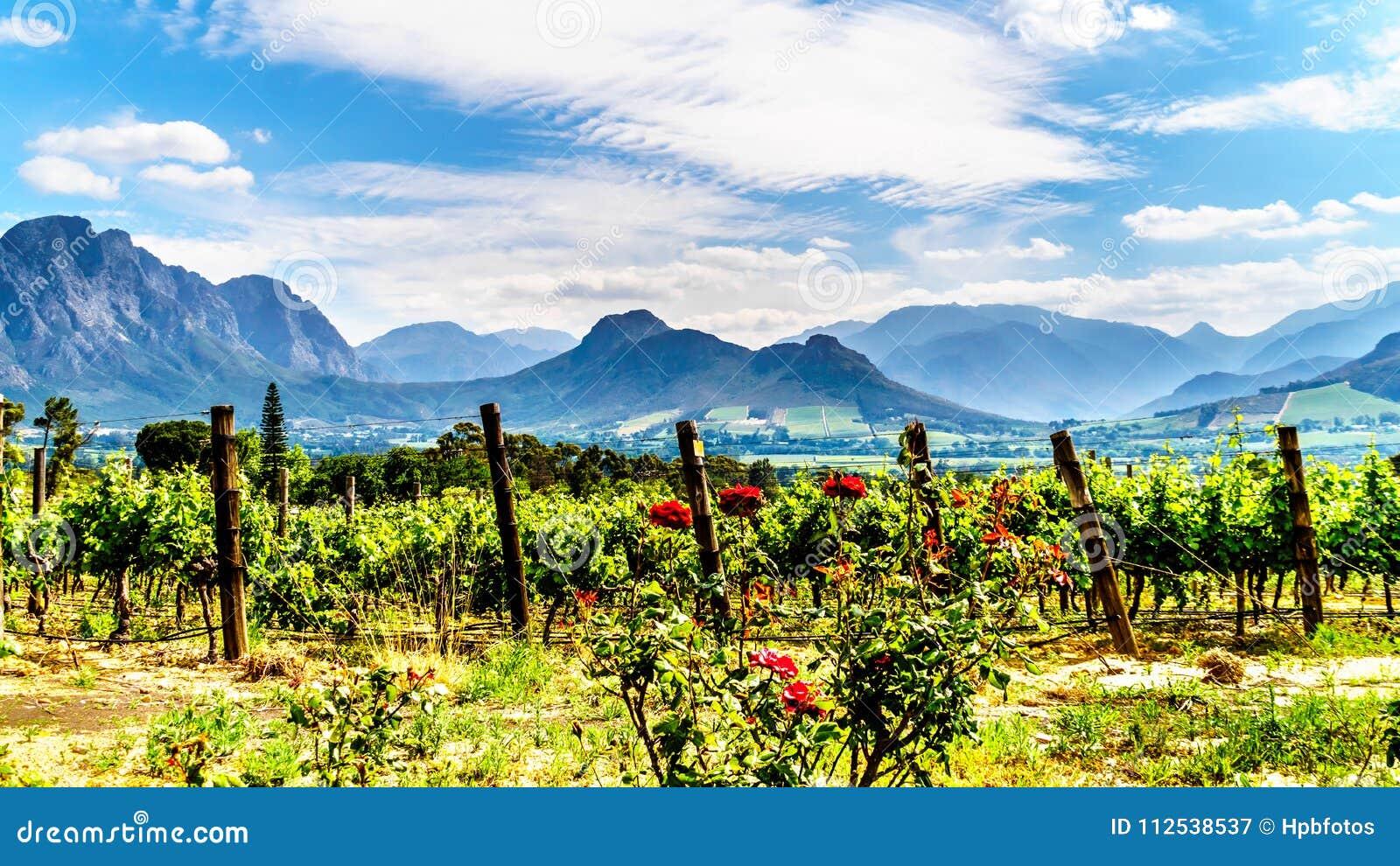 Winnicy przylądek Winelands w Franschhoek dolinie w Zachodnim przylądku Południowa Afryka
