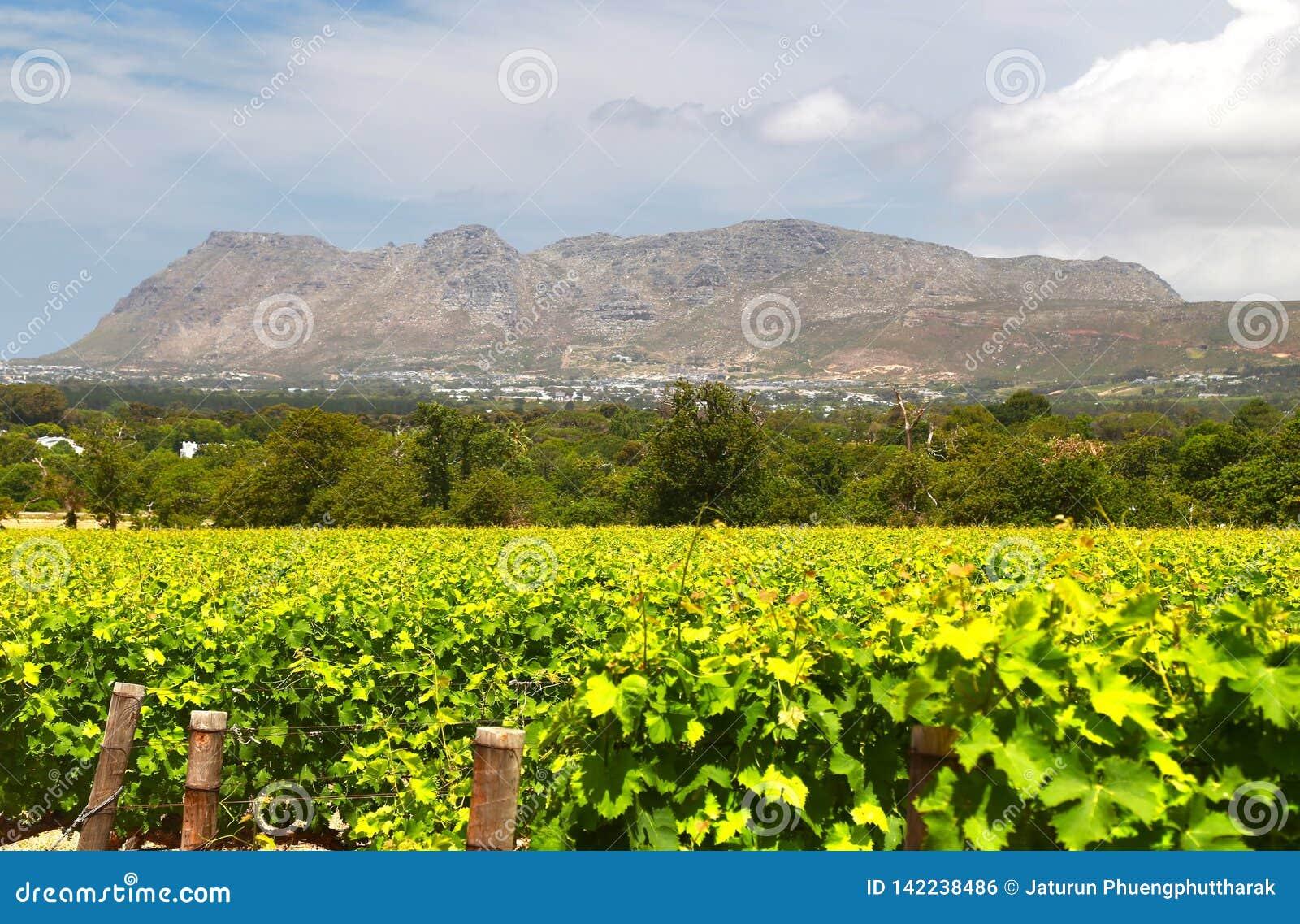 Wino Uprawia ziemię w przylądka miasteczku, południowy Africa